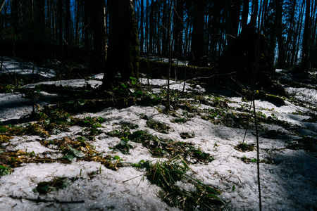 Spring landscape. Early spring in the pine forest, the snow in not melted everywhere and its covered by thin crust of ice. Early green plants come outside. Stok Fotoğraf