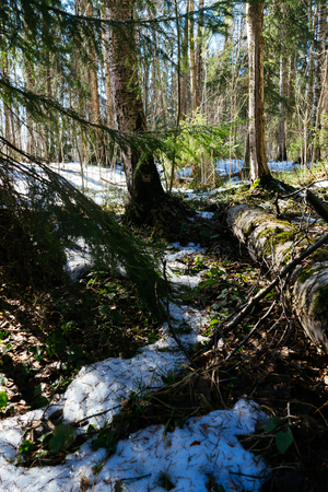 Spring landscape. Early spring in the pine forest, the snow in not melted everywhere and its covered by thin crust of ice. Early green plants come outside. Fallen tree is close up.