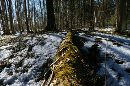 Close up picture of fallen pine tree. Snow is laying down on a ground. picture is made from a down view. Old tree is covered by distructed crust. Stok Fotoğraf