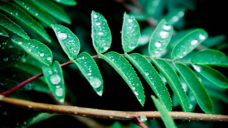 Some little water drops on a surface of rowans green leaves. Rainy weather.