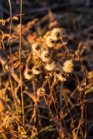 Early frozen morning. Warm light goes from a sunrise sky. Dry fall plants in golden light. Field flowers become a fluff. Stok Fotoğraf