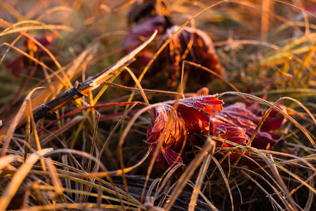 Early frozen morning. Beautiful leaf of the red maple and yellow grass are covered by frost. Warm light goes from a sunrise sky. Stok Fotoğraf