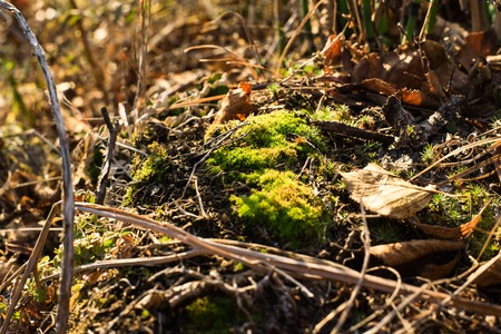 Close up picture of green young moss between dry leaves.