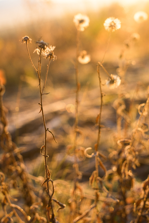 Early frozen morning. Warm light goes from a sunrise sky. Dry fall plants in golden light. Field flowers become a fluff. Stockfoto