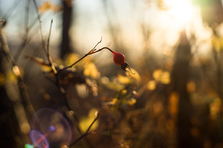 Early frozen morning. Sunlight goes through leaf of red briar. Warm golden light goes from a sunrise sky. Stok Fotoğraf