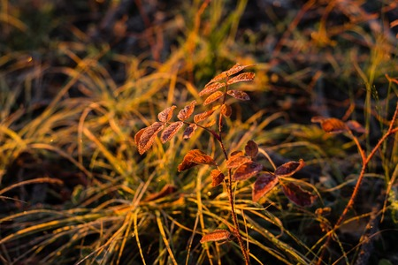 Early frozen morning. Beautiful leaf of the red ashberry and yellow grass are covered by frost. Warm light goes from a sunrise sky.