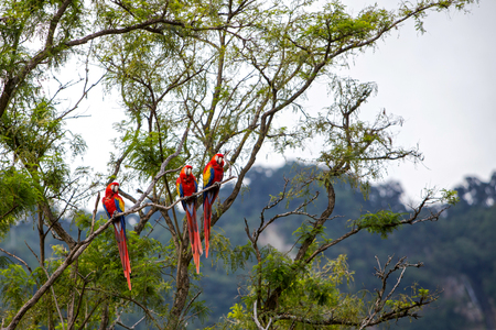 Macaw birds in a tree in the jungle