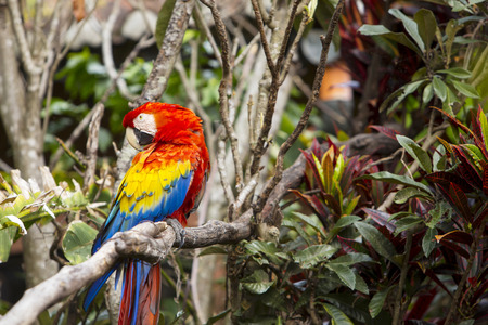 Macaw bird preening while sitting in a tree in a rainforest