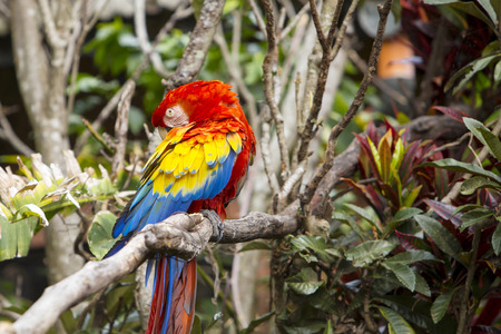 Macaw bird grooming itself while sitting in a tree