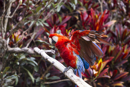 Macaw bird spreading its wings will sitting on a branch