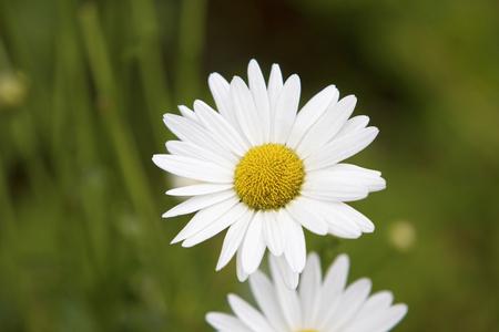 Beautiful daisy flower in a field Фото со стока