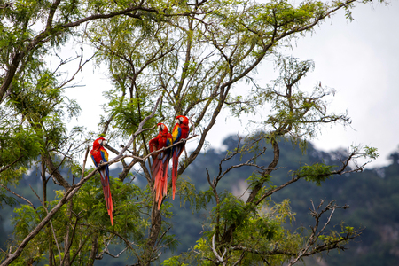 Macaw birds in a tree in a rainforest