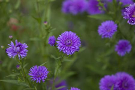 Beautiful purple flowers in a field