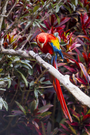 Macaw bird full length perched on a branch in a jungle Фото со стока