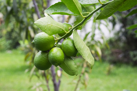 Ripe limes hanging in a tree