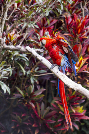 Macaw bird full length spreading wings and showing colors Фото со стока