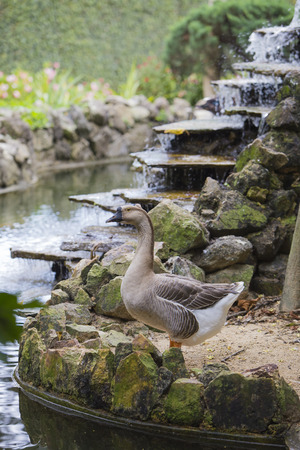 Goose standing near a fountain pond