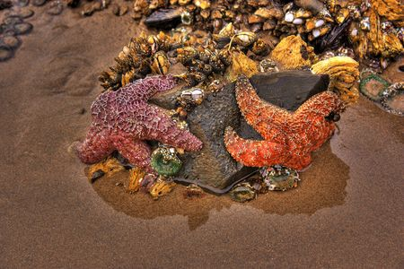 arcadia: HDR of Starfish on Cannon Beach Oregon located by Arcadia park Stock Photo