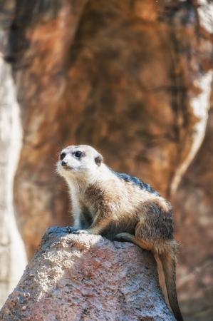 suricatta: Meerkat  suricata suricatta