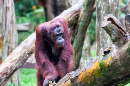 captive animal: A Bornean orangutan (Pongo pygmaeus) climbs a series of logs at the Singapore Zoo. Stock Photo