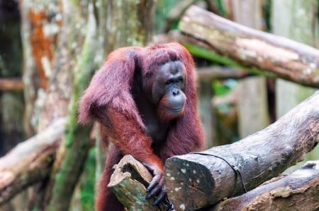 tree dweller: A Bornean orangutan (Pongo pygmaeus) climbs a series of logs at the Singapore Zoo. Stock Photo