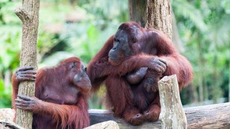 Een paar van de Borneose orang-oetans (Pongo pygmaeus) rust tussen de bomen op de Singapore Zoo. Stockfoto