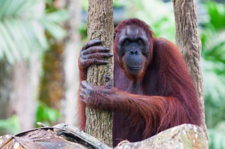 orang: A Bornean orangutan (Pongo pygmaeus) rests atop the trees at the Singapore Zoo. Stock Photo