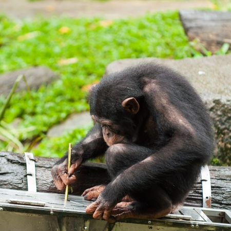 captive animal: A chimpanzee (pan troglodytes) uses tools to get fruit from a box at the Singapore Zoo.
