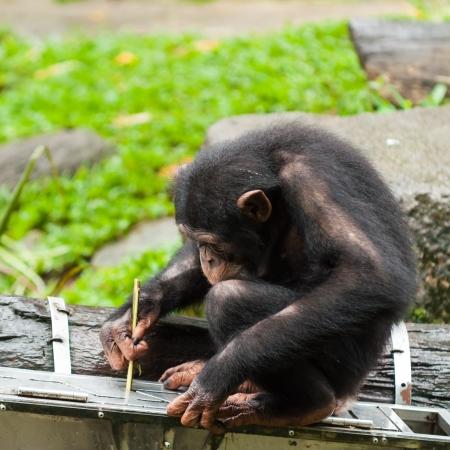 Een chimpansee (Pan troglodytes) maakt gebruik van instrumenten om fruit te krijgen uit een doos in de Singapore Zoo.