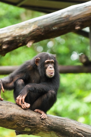 A chimpanzee (pan troglodytes) sits among the trees at the Singapore Zoo. photo