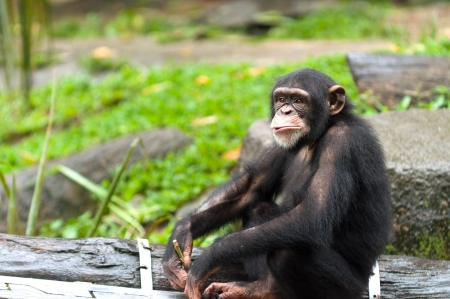 captive animal: A chimpanzee (pan troglodytes) at the Singapore Zoo.