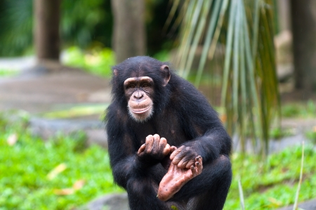 A chimpanzee (pan troglodytes) at the Singapore Zoo. photo