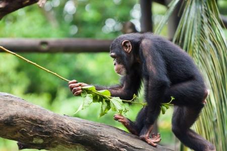 troglodytes: A chimpanzee (pan troglodytes) at the Singapore Zoo.