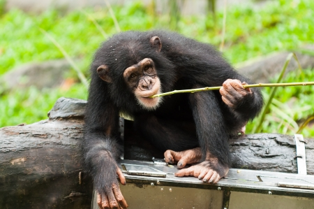 A chimpanzee (pan troglodytes) uses tools to get fruit from a box at the Singapore Zoo. photo