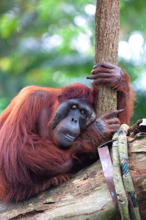 captive animal: A Bornean orangutan (Pongo pygmaeus) rests atop the trees at the Singapore Zoo. Stock Photo