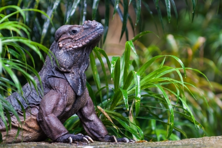 coldblooded: A rhinoceros iguana (cyclura cornuta) basks in the sunlight on a rock at the Singapore Zoo. Stock Photo