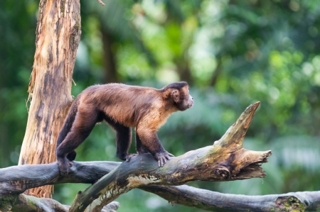 tree dweller: A tufted capuchin monkey (Cebus apella) among the trees at the Singapore Zoo.