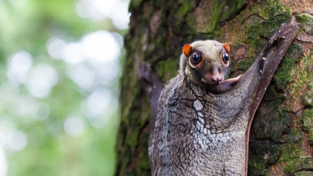 A Sunda flying lemur (Galeopterus variegatus) clings to a tree in the rainforests of Southeast Asia. Stok Fotoğraf