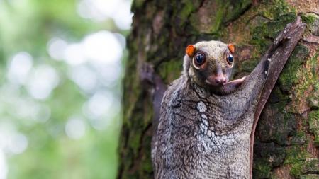 Een Sunda vliegende maki (Galeopterus variegatus) klampt zich vast aan een boom in de regenwouden van Zuidoost-Azië.
