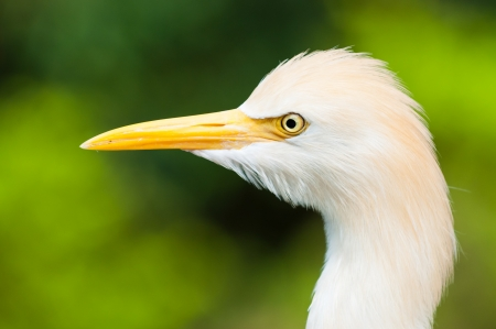 captive animal: Cattle egret (Bubulcus ibis) at the Jurong Bird Park in Singapore.