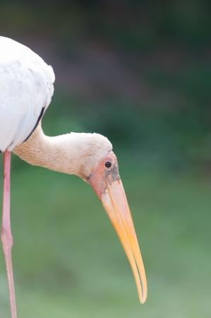 billed: Yellow-billed stork (Mycteria ibis)