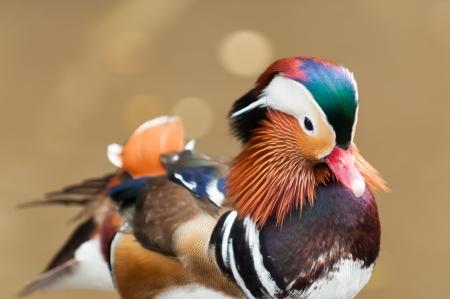 aix galericulata: Male mandarin duck  Aix galericulata   Stock Photo