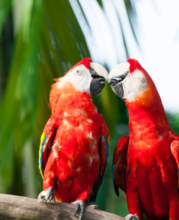 two parrots: A pair of scarlet macaws (Ara macao)