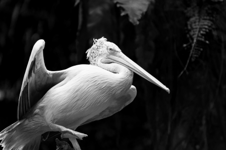 captive animal: A spot-billed pelican  Pelecanus philippensis  perched atop a branch at the Singapore Zoo