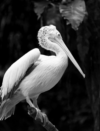 captive animal: A spot-billed pelican  Pelecanus philippensis  perched atop