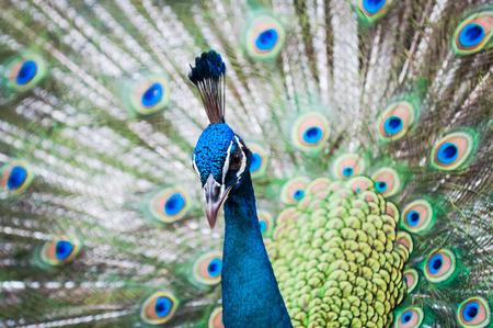 pavo: An Indian peacock (Pavo cristatus) at KL Bird Park in Kuala Lumpur, Malaysia.