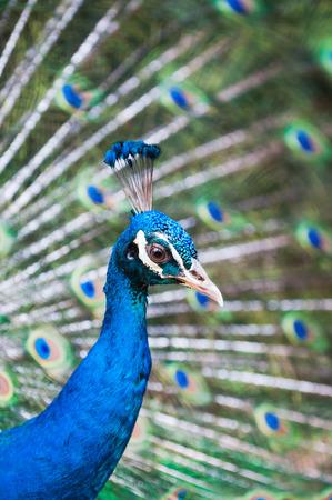 pavo cristatus: An Indian peacock (Pavo cristatus) at KL Bird Park in Kuala Lumpur, Malaysia.