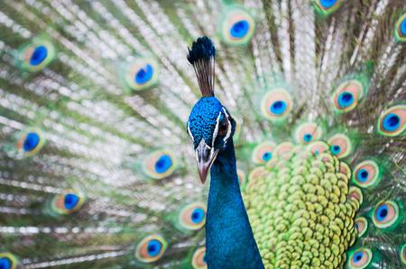 captive animal: An Indian peacock (Pavo cristatus) at KL Bird Park in Kuala Lumpur, Malaysia.