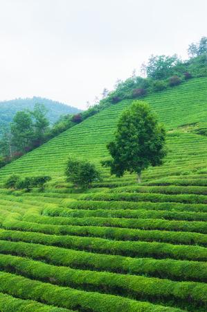 tea crop: The Boseong tea fields in South Korea.