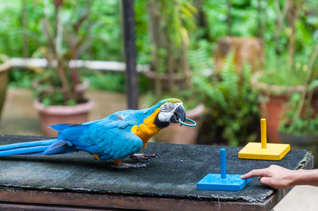kl: A blue and yellow macaw performs a trick at the KL Bird Park in Kuala Lumpur, Malaysia  Stock Photo